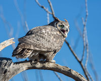 Great Horned Owl. A great horned owl in the Sonoran Desert Arizona royalty free stock photo