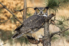 Great Horned Owl. Sits in pine tree Stock Photo