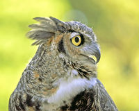 Great Horned Owl. Side profile of a Great Horned Owl or Tiger Owl Royalty Free Stock Images