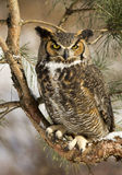 Great Horned Owl. Sitting in a pine tree in winter Royalty Free Stock Photography