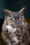 Great Horned Owl 3. Vertical image of a great  horned owl perched with copy-space above Stock Image