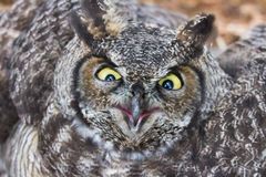 Free Great Horned Owl Stock Photos - 34904023