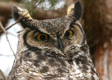 Great Horned Owl. A close-up of a wild Great Horned Owl on its roost Royalty Free Stock Images