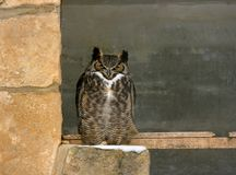 Great Horned Owl. A Great Horned Owl perching in the doorway of its enclosure on a snowy winter day Royalty Free Stock Photos