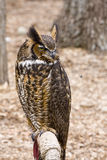 Great Horned Owl. At the World Bird Sanctuary Royalty Free Stock Photos