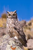 Great Horned Owl. Great Horned Owl (Bubo Virginianus) in Patagonia, Southern Argentina Royalty Free Stock Image