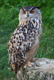 Great horned owl Royalty Free Stock Images