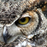 Great Horned Owl. A closeup view of a Great Horned Owl royalty free stock images