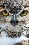 Great Horned Owl. Close up portrait of Great Horned Owl stock photo