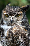 Great Horned Owl. Closeup of a great horned owl royalty free stock image