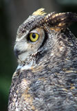 Great Horned Owl. A sideways closeup of the great horned owl stock images