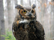 Great Horned Owl. Outside in light snow stock photography
