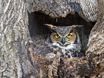 Free Great Horned Owl Stock Photo - 66360050
