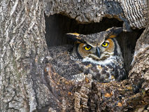 Free Great Horned Owl Royalty Free Stock Photo - 68622795