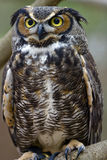 Great Horned Owl. Close up of a great horned owl Royalty Free Stock Photo