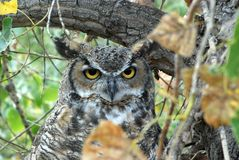 Great Horned Owl. Sitting in a tree in Colorado Stock Images