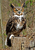 Great Horned Owl royalty free stock photo