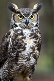 Great Horned Owl. Close up of a great horned owl stock images