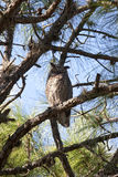 Great Horned Owl. The great horned owl (bubo virginianus) is the most widespread and best known owl in North America royalty free stock photo