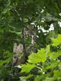 Great Horned Owl. Although I could see the owl from my deck it took me over 1/2 hour to actually locate the owl for this picture.  He was a master of concealment Royalty Free Stock Photography