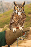 Great Horned Owl. A Great Horned Owl perched on his handler's glove Royalty Free Stock Photo