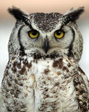 Great Horned Owl. Closeup of a Great Horned Owl with a grumpy expression Stock Photo
