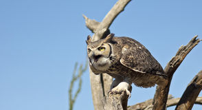 A Great Horned Owl Against a Blue Sky Stock Photography