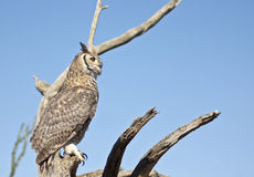 A Great Horned Owl Against a Blue Sky Stock Photos