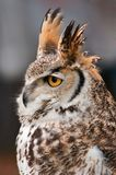 Great Horned Owl Against Grey. Great Horned Owl (Bubo virginianus) Against Grey - captive bird royalty free stock photography
