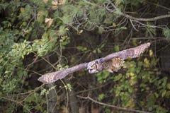 Great Horned Owl Alaska Stock Photography