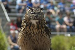 Great Horned Owl Eyes closed at bird show at Los Angeles Zoo stock photos