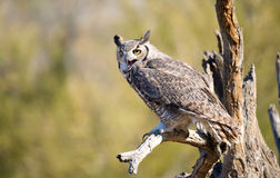 Great-horned Owl , Arizona Royalty Free Stock Photo