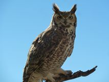 Great Horned Owl. As seen at the Arizona Sonoran Desert Museum Royalty Free Stock Photography