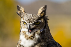 Great Horned Owl in Autumn Setting Stock Images