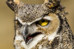 Great Horned Owl in Autumn Setting Royalty Free Stock Images