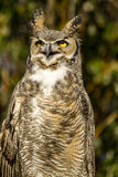 Great Horned Owl in Autumn Setting Royalty Free Stock Photo