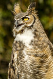 Great Horned Owl in Autumn Setting Royalty Free Stock Photography