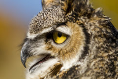 Great Horned Owl in Autumn Setting Stock Photography
