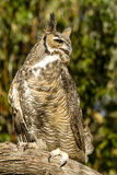 Great Horned Owl in Autumn Setting Royalty Free Stock Image