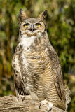Great Horned Owl in Autumn Setting Royalty Free Stock Photos