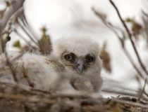 Great Horned Owl Babies in Nest Stock Photo