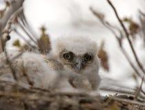 Great Horned Owl Babies in Nest. Saskatchewan Stock Photo