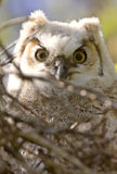 Great Horned Owl Babies Owlets. In Nest Royalty Free Stock Images