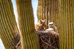 Great Horned Owl and Baby in Cactus. A great horned owl and her baby living in a nest in a cactus in the desert of Arizona stock image