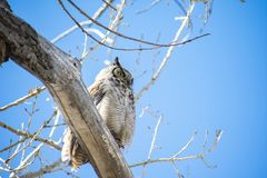 Great Horned Owl in a Barren Tree. Image shows a Great Horned Owl perched on a barren white tree branch, near the Arkansas River, in Southeast Colorado. Liked stock photography