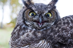 Great Horned Owl. BC Canada royalty free stock image