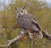 Great Horned Owl. Beautiful Great Horned Owl in the Arizona Desert Stock Images