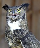 Great Horned Owl. Beautiful Great Horned Owl perks up when someone calls her name stock photo