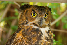 Great horned owl with big yellow eyes and green foliage background closeup. Closeup of a great horned owl with big yellow eyes, colorful feathers and green Royalty Free Stock Photo