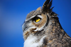 Great Horned Owl with Blue Sky Stock Images